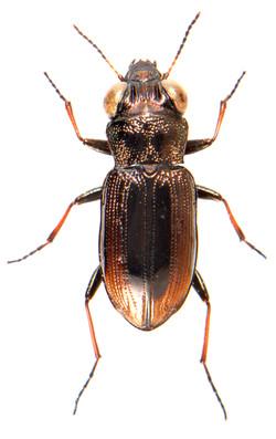Notiophilus biguttatus 1