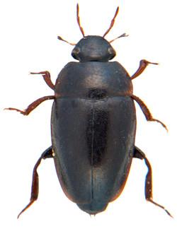Limnebius truncatellus 1