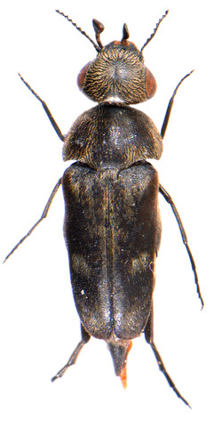 Tomoxia bucephala 2