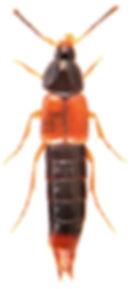 Bolitobius castaneus 2.jpg