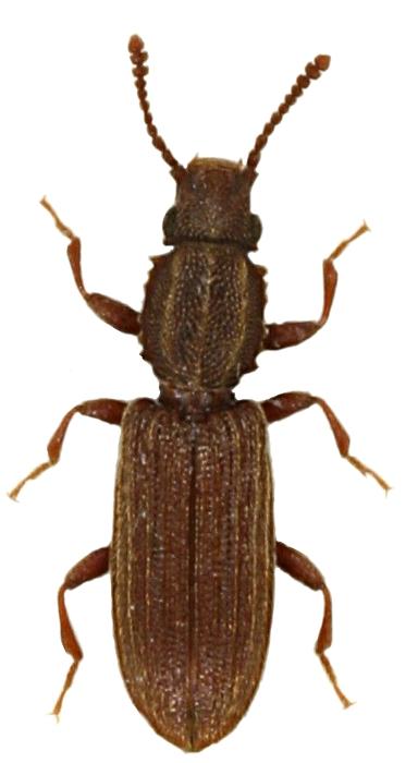 Oryzapehilus mercator