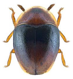 Corylophus cassidoides 2