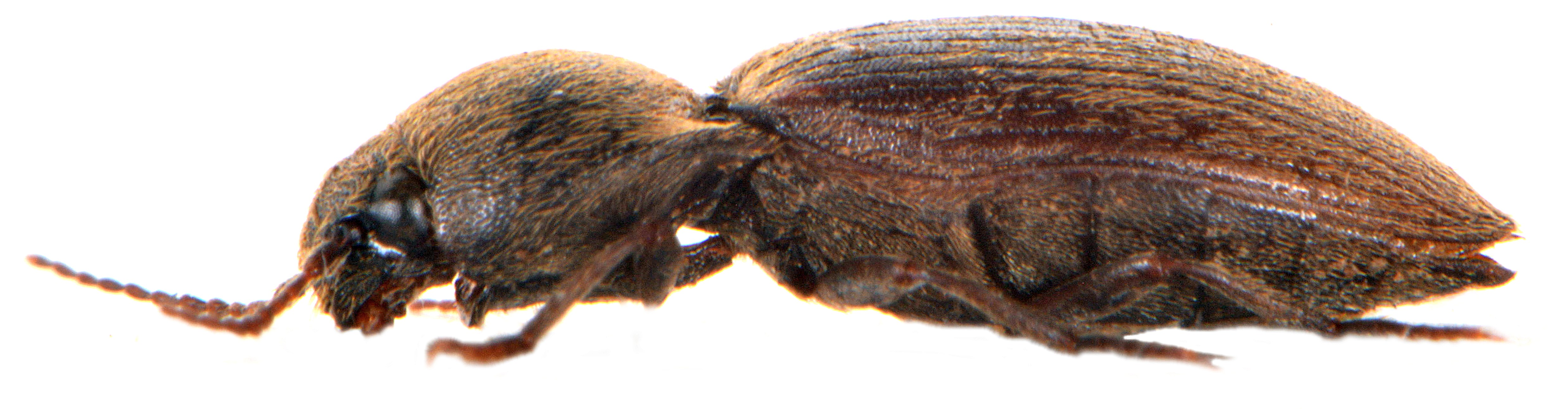 Agriotes obscurus 3