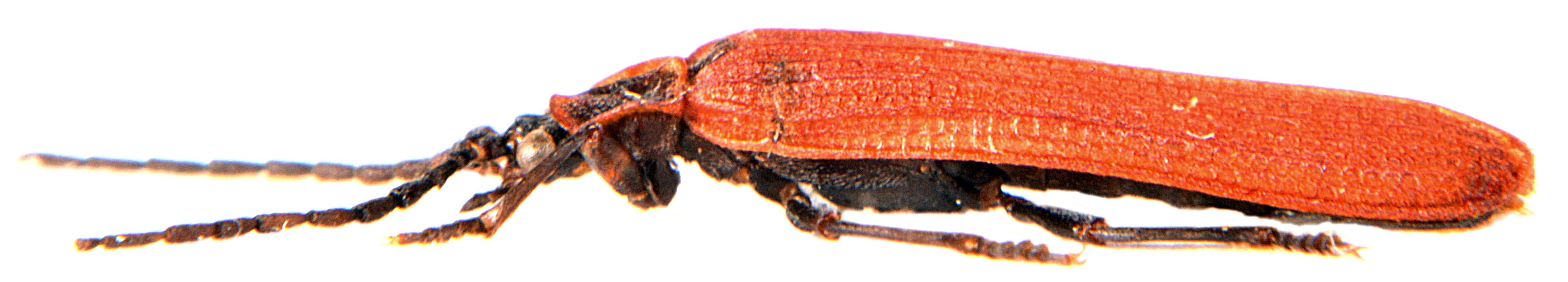 Dictyoptera aurora 4