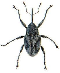 Archarius salicivorus.jpg