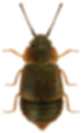Megarthrus bellevoyei.jpg
