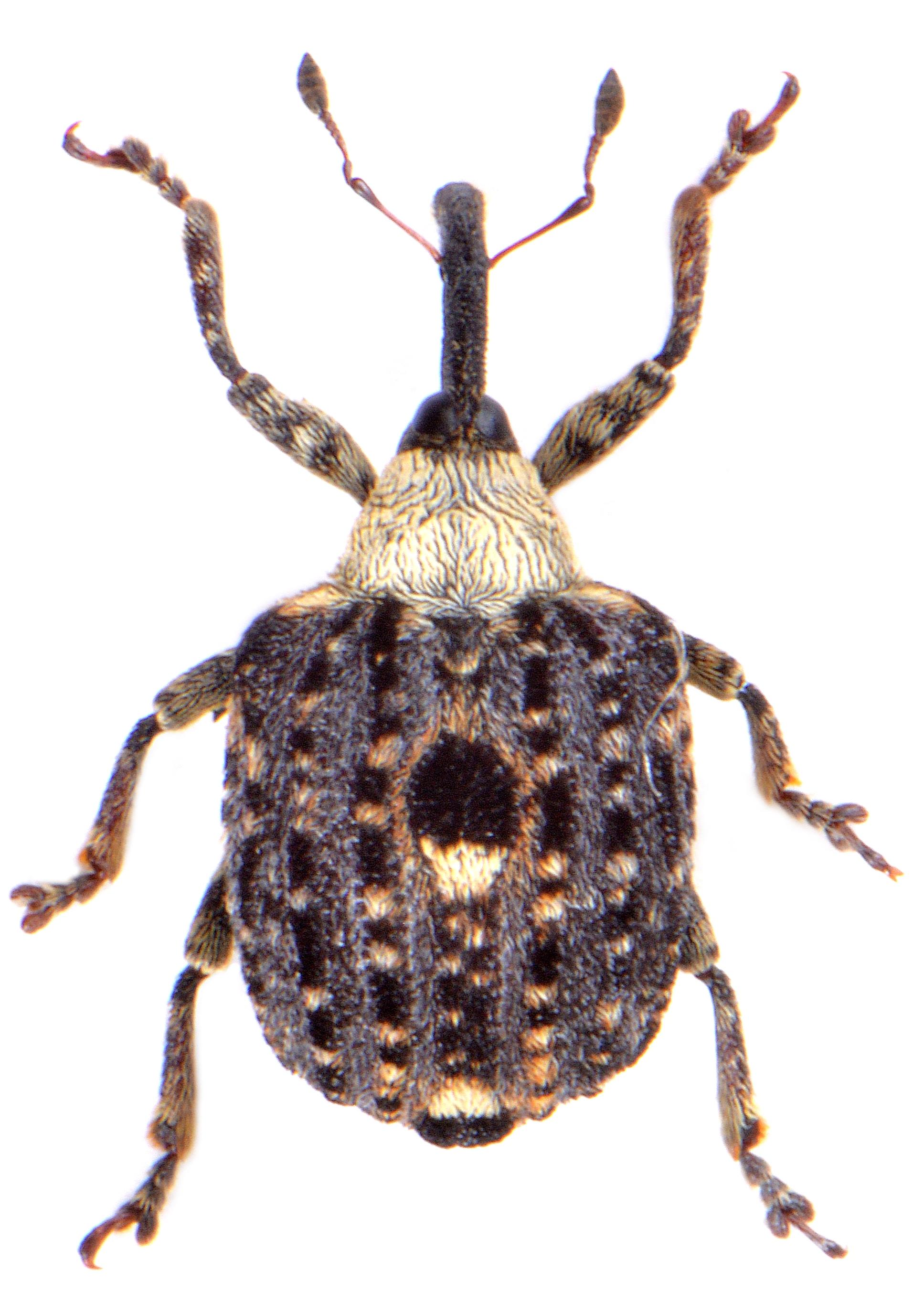 Cionus scrophulariae 1