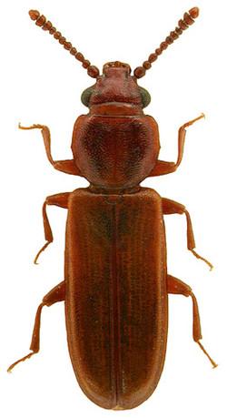 Pediacus depressus