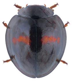 Chilocorus bipustulatus 2