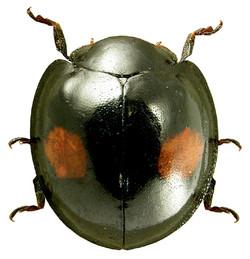 Chilocoris renipustulatus 3