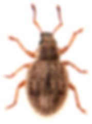 Brachysomus echinatus 1.jpg