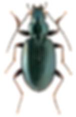 Bembidion nigropiceum.jpg