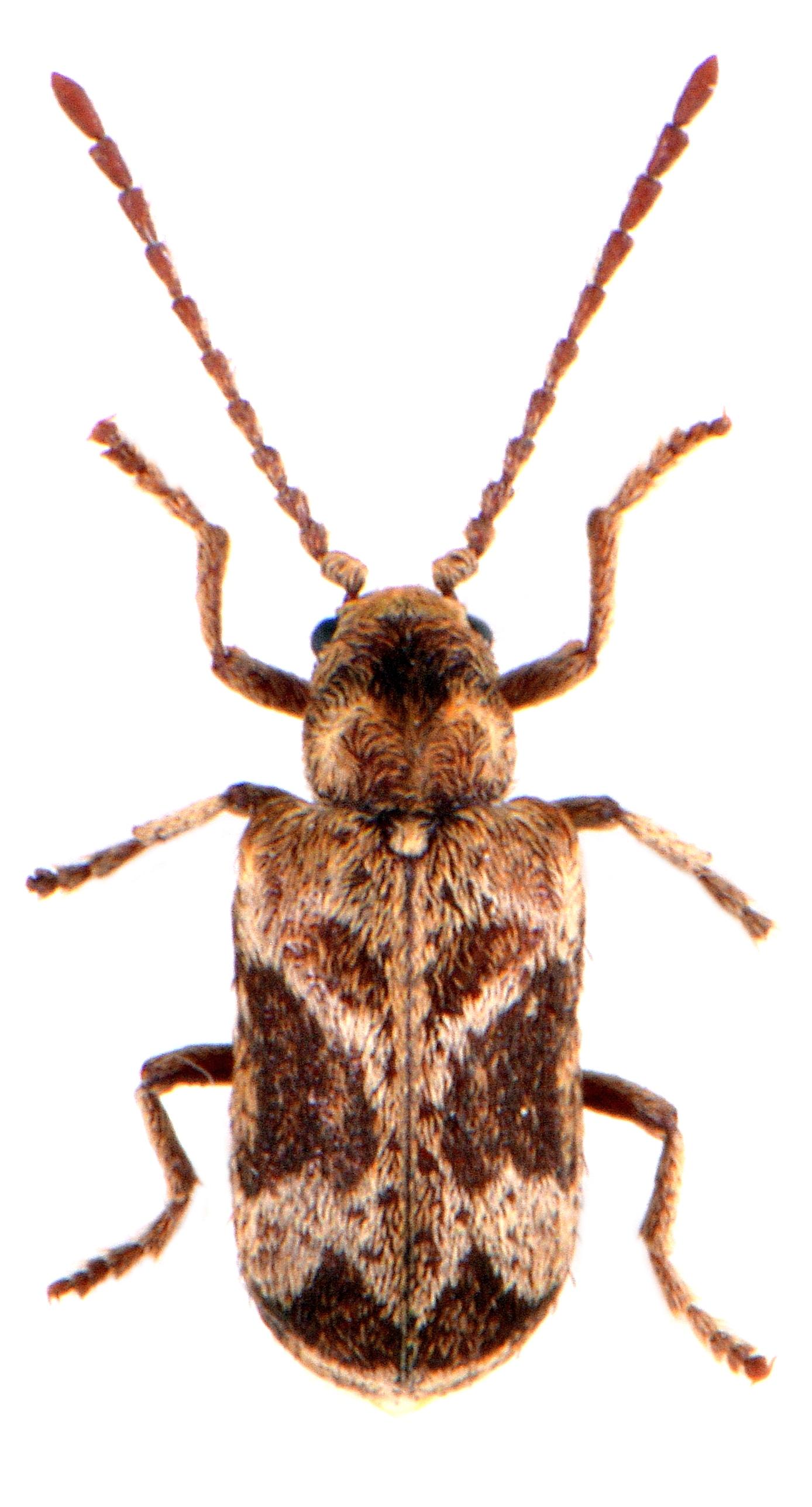 Ptinomorphus imperialis 2