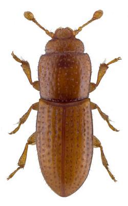 Anommatus duodecimstriatus 2