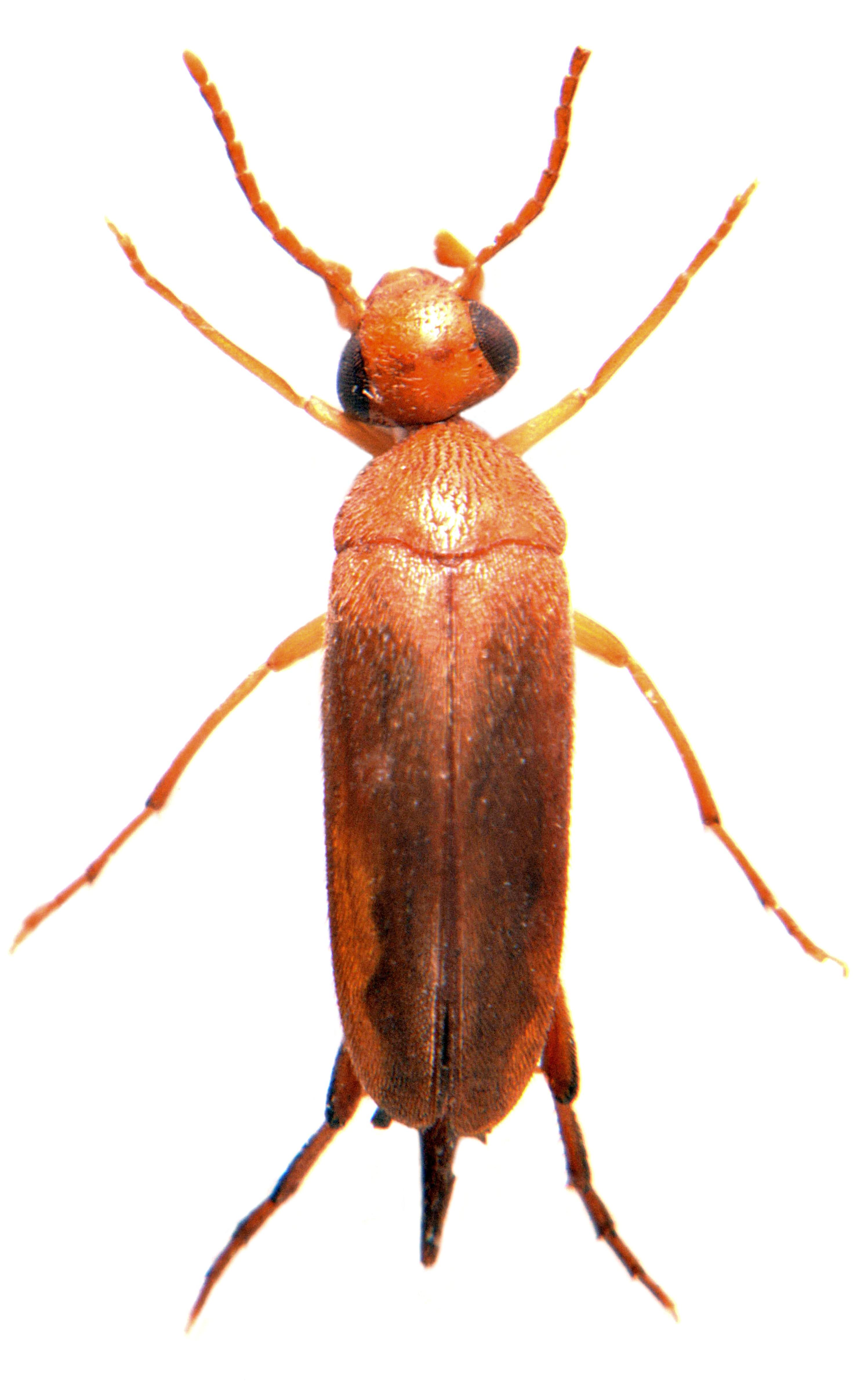 Mordellistena neuwaldegianna