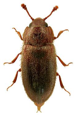 Diplocoelus fagi