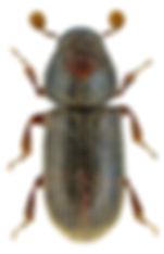 ernoporicus_fagi_1.jpg