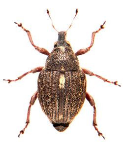 Rhinoncus pericarpius 2
