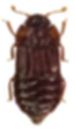 Micropeplus staphylinoides 2.jpg