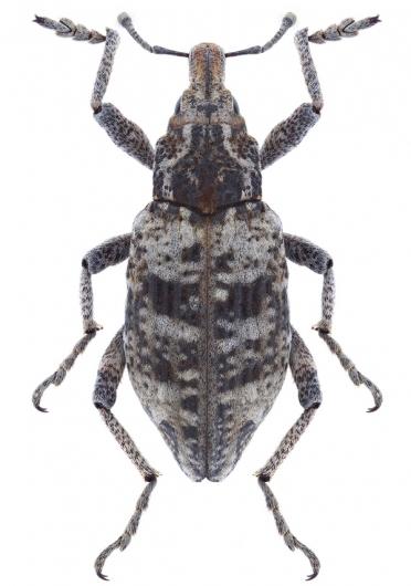 Coniocleonus turbatus