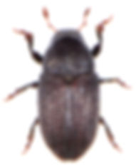 Hylesinus crenatus 1.jpg