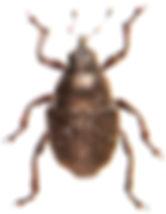 Zacladus exiguus 1.jpg