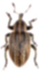 Hypera arator 2.jpg
