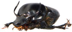 Onthophagus taurus 5