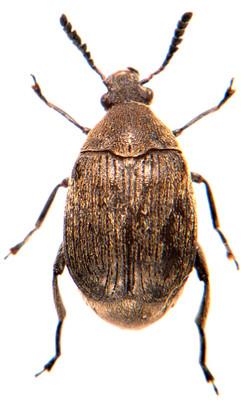Bruchidius villosus 3