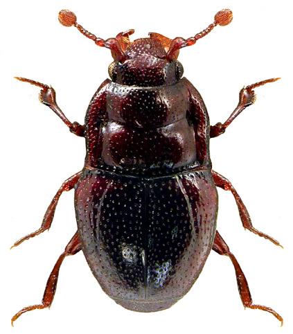 Plegaderus dissectus
