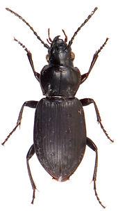 Pterostichus adstrictus 1.jpg