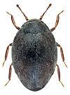 limnichus pygmaeus 1 US.jpg