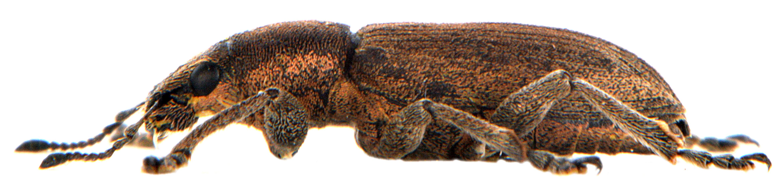 Tanymecus palliatus 2