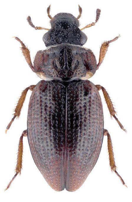 Ochthebius dilatatus 3