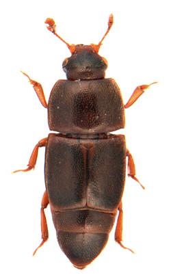 Carpophilus marginellus 1