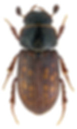 Heptaulacus testudinarius 1.jpg