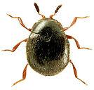 Aspidiphorus orbiculatus 1lb.jpg