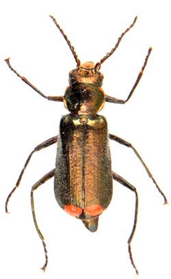 Malachius bipustulatus 5