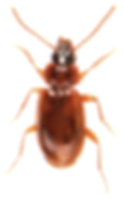 Trechus quadristriatus.jpg
