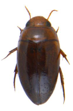 Noterus crassicornis 2