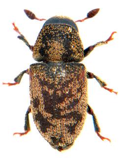 Hylesinus varius 1