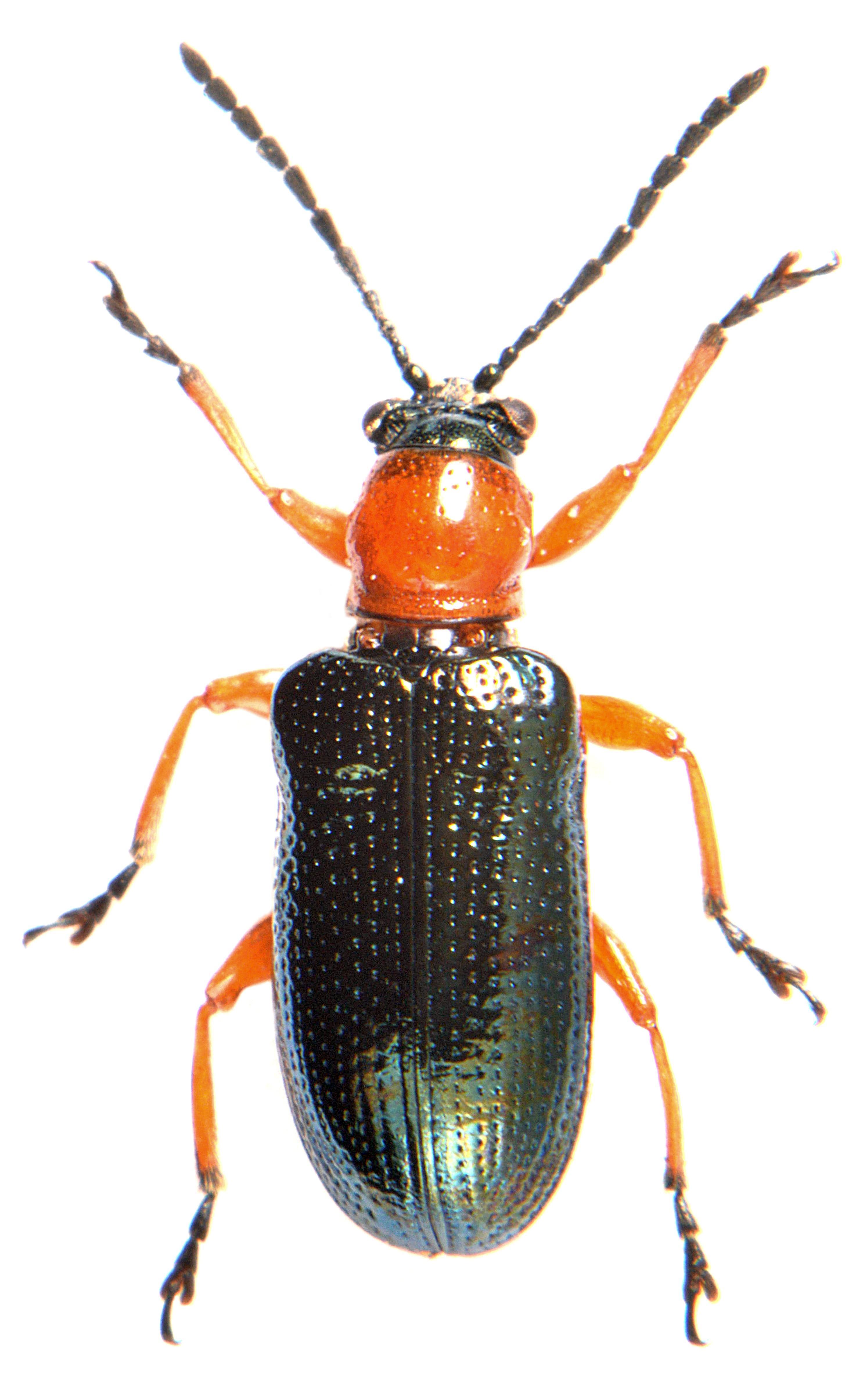Oulema melanopus 2