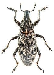 Cleonus pigra.jpg