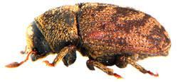 Hylesinus varius 3