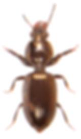Dyschirius aeneus.jpg