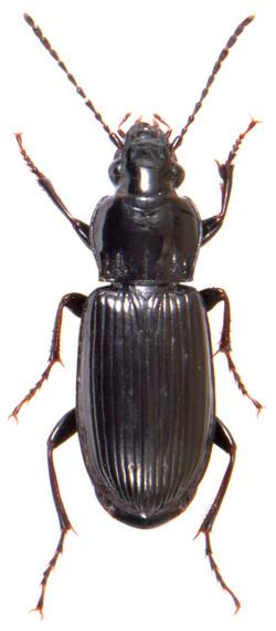 Pterostichus anthracinus 1