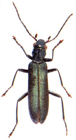 Ischnomera caerulea