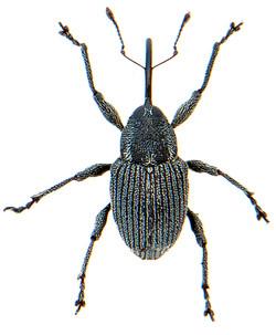 Archarius salicivorus 1