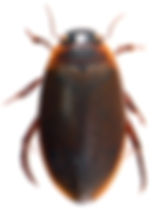 Colymbetes fuscus 4.jpg