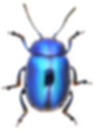 Chrysolina coerulans 1a.jpg